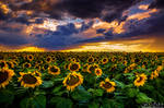 Colorado Sunflowers At Sunset