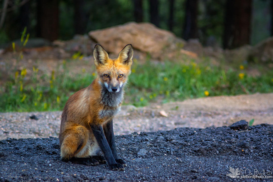A Red Fox Stare by kkart