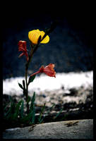 yellow flower by tolly