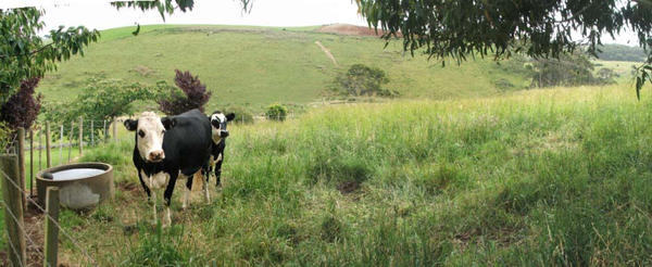 paddock of cow's by amissguidedstarstock