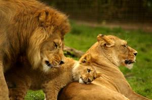Lion Family. by TheSilverLotus