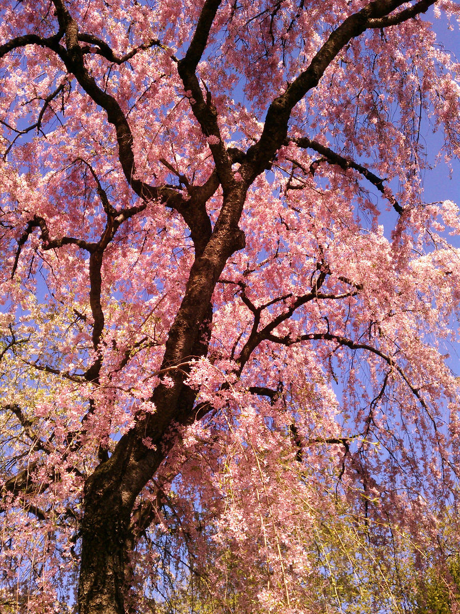 My Cherry Tree by Nazaryn