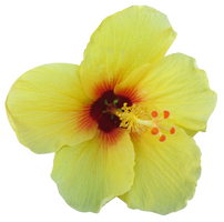 Yellow Hibiscus by Owhl-stock
