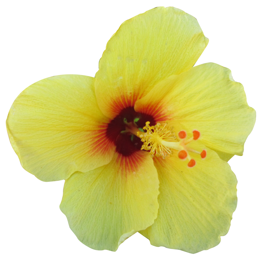 Yellow Hibiscus By Owhl Stock On Deviantart