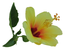 Yellow Hibiscus 2 by Owhl-stock