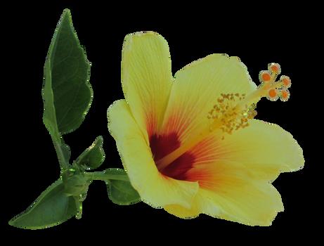 Yellow Hibiscus 2
