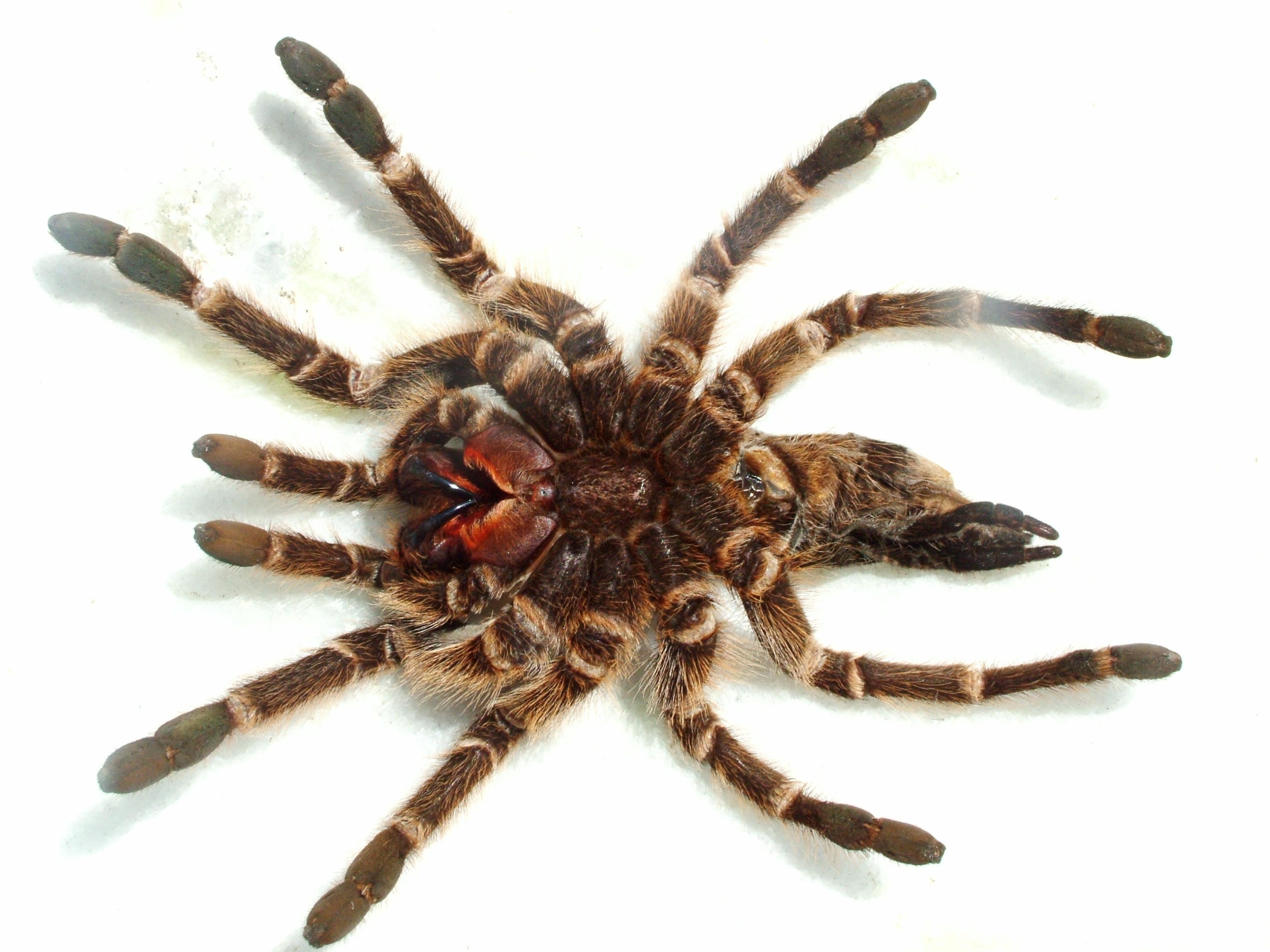 Tarantula Spider Pictures Spider Tarantula by Enemy