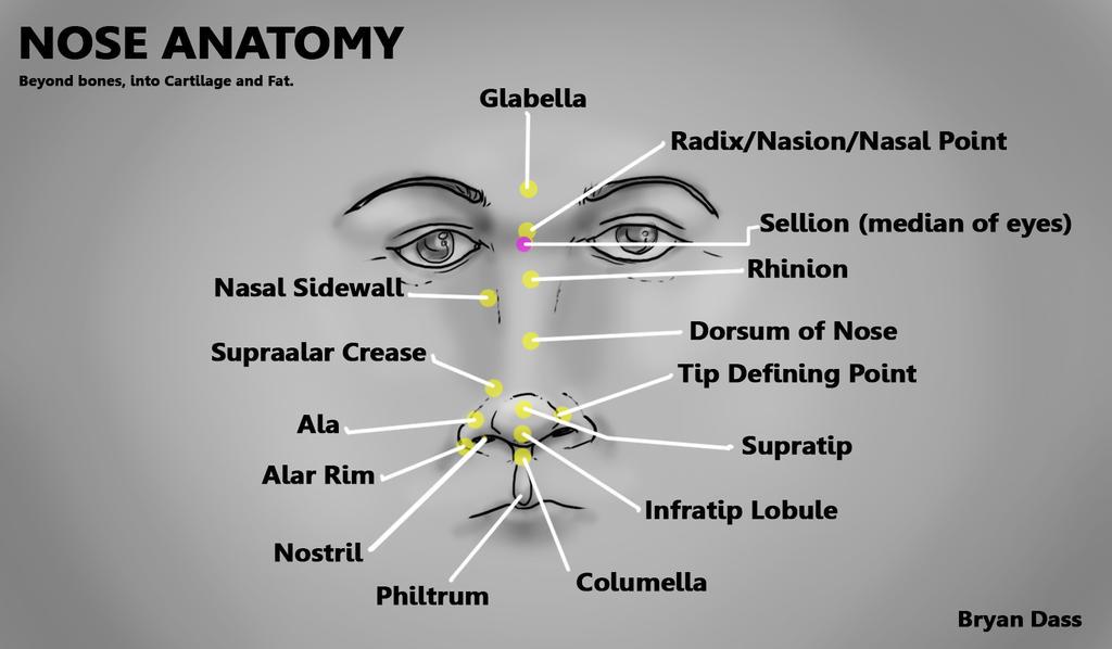 Nose Study Anatomy Not Bones Cartilagefat By Bryanthelion On