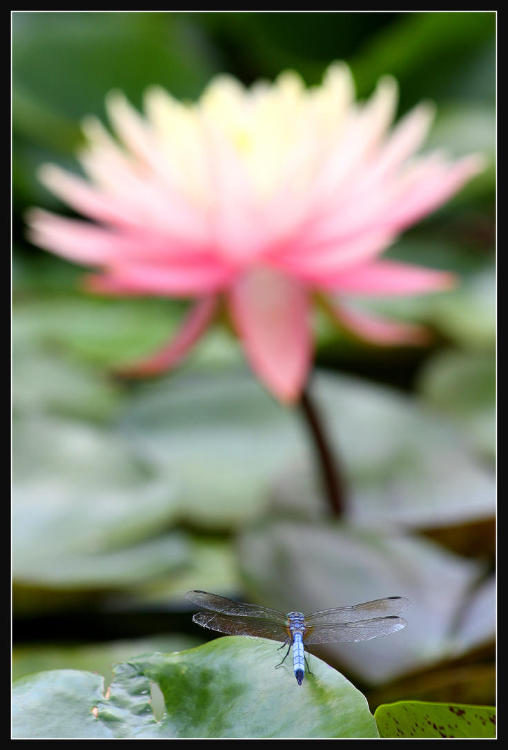 Dragonfly Lotus II by Jeremyti