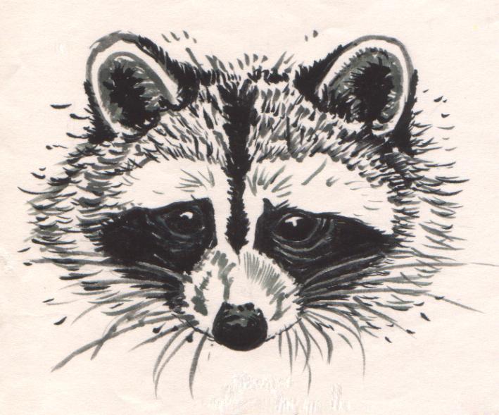 Raccoon Face Drawing Raccoon Face Clip Art