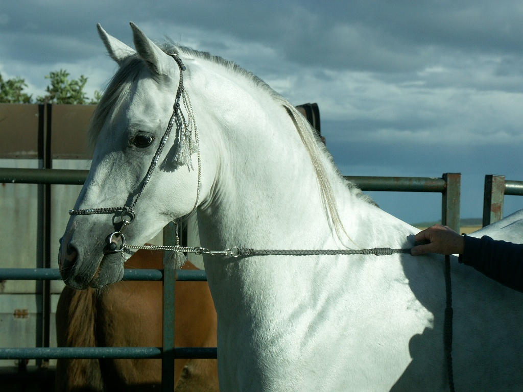 Horse stock 3 by rewston-stock