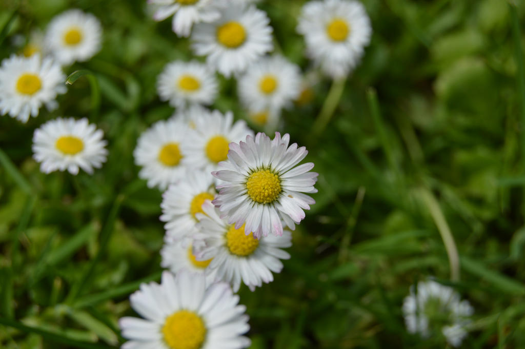 daisys by Meli-Melon