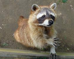 raccoon by kicsianna