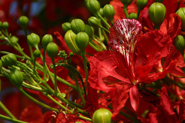 Poinciana II by GlennMichaelImages