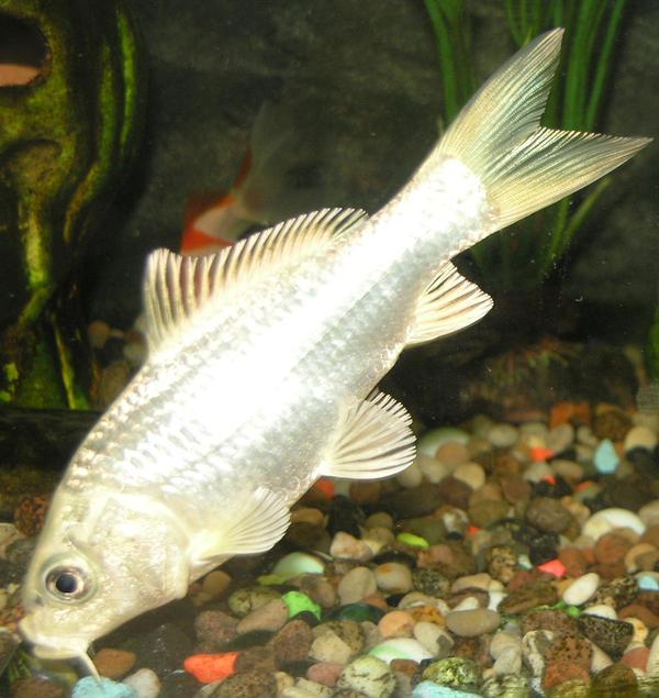 white goldfish stock 9 by EmzazasStock on DeviantArt