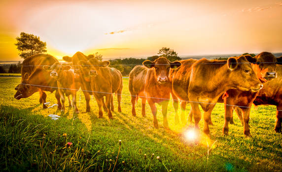 HDR Cows
