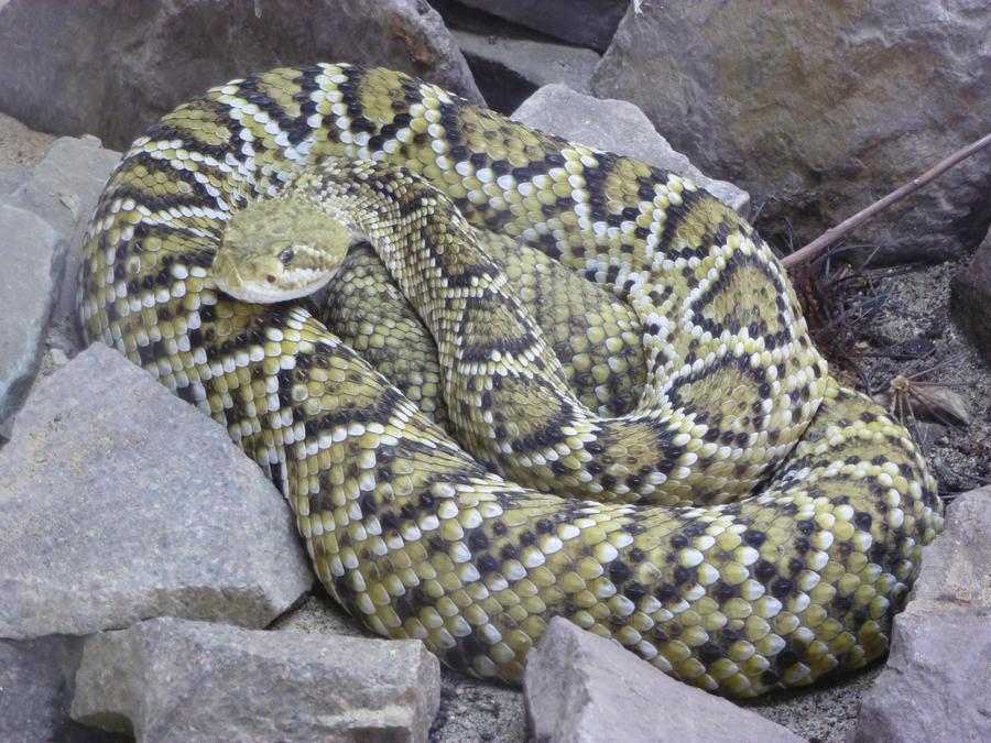 Mexican west coast rattlesnake by Feridwyn