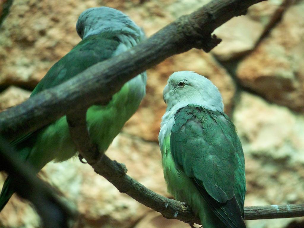 grey-headed lovebird by Feridwyn