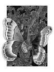 Promethea Silkmoths Illustration