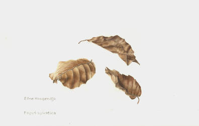 Leaves of a beech