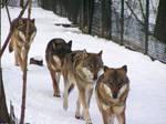 Wolves - Zoo Troja