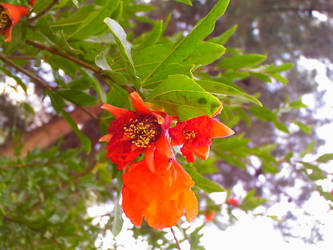 Pomegranate Flower by Arash0098
