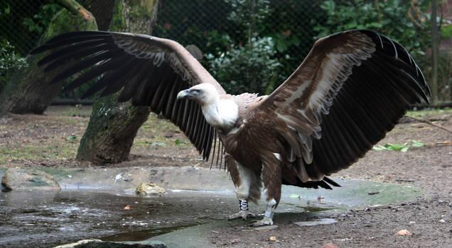 Vulture 1 by Esveeka-Stock