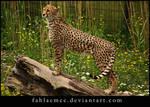 Cheetah 2