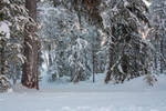 Snowy forest 6