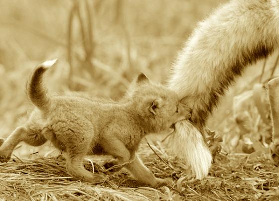 fox by xoxomickyxoxo