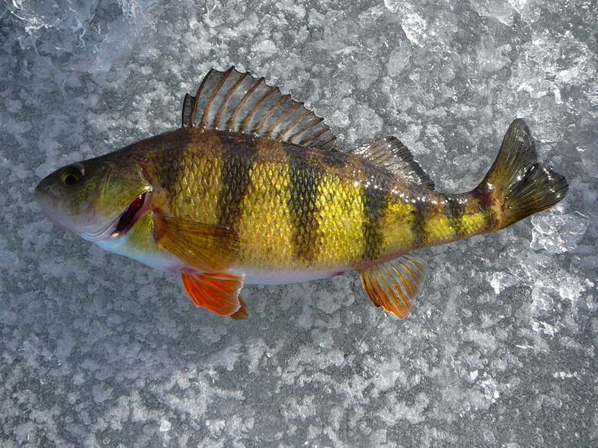 Yellow perch ice fishing by leccathufurvicael on deviantart for Ice fishing perch