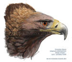 Golden Eagle - quick bust sketch