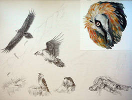 Bearded Vulture Study Page WIP 3 by LeccathuFurvicael
