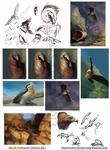 Bearded Vulture, Golden Eagle - Study Compilation