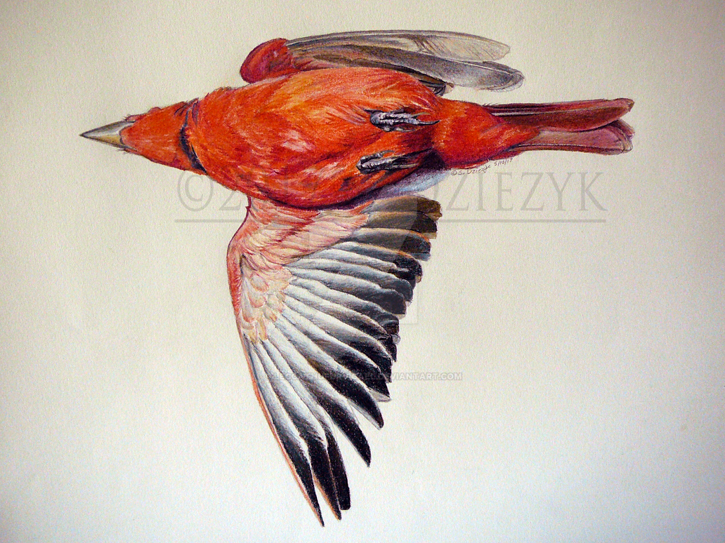 Life Study: Summer Tanager by LeccathuFurvicael
