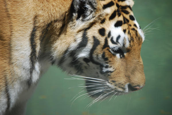 tigresas