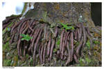 Dactyloa roquet 4