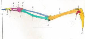 Human Avian Anatomy (The Wing)2