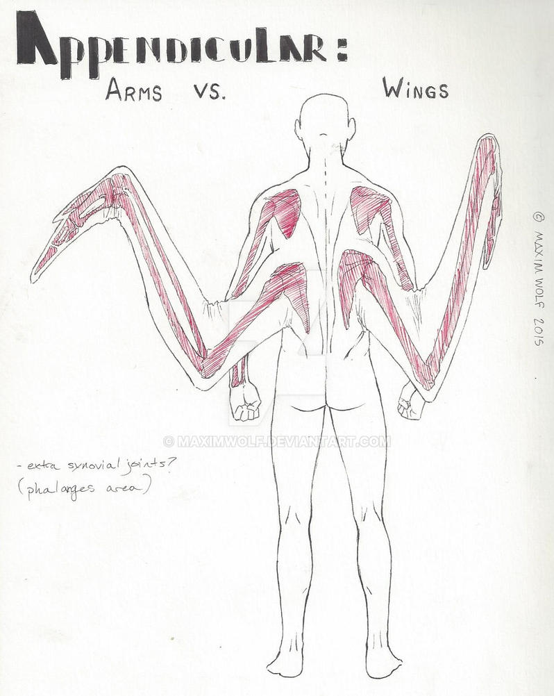 Human Avian Appendicular Anatomy Re Armsvswings By Maximwolf On