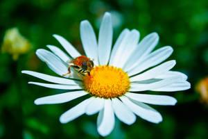 Summer Bee I