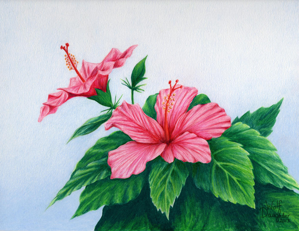 Pink Hibiscus by Wolf-Daughter on DeviantArt