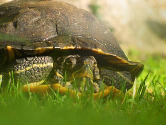 Turtle by Pireek
