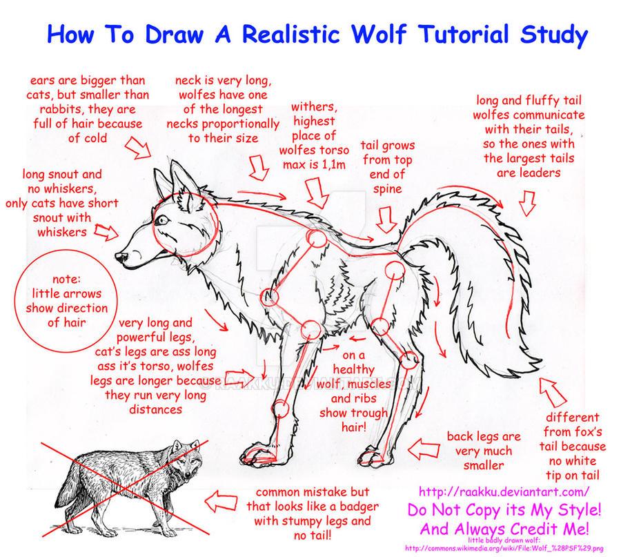 Realistic Wolf Anatomy Tutorial Study by Raakku