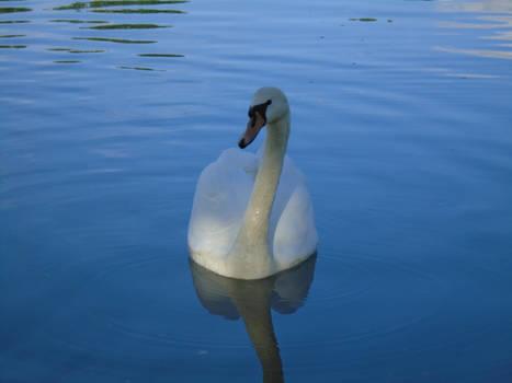 Smugface Swan