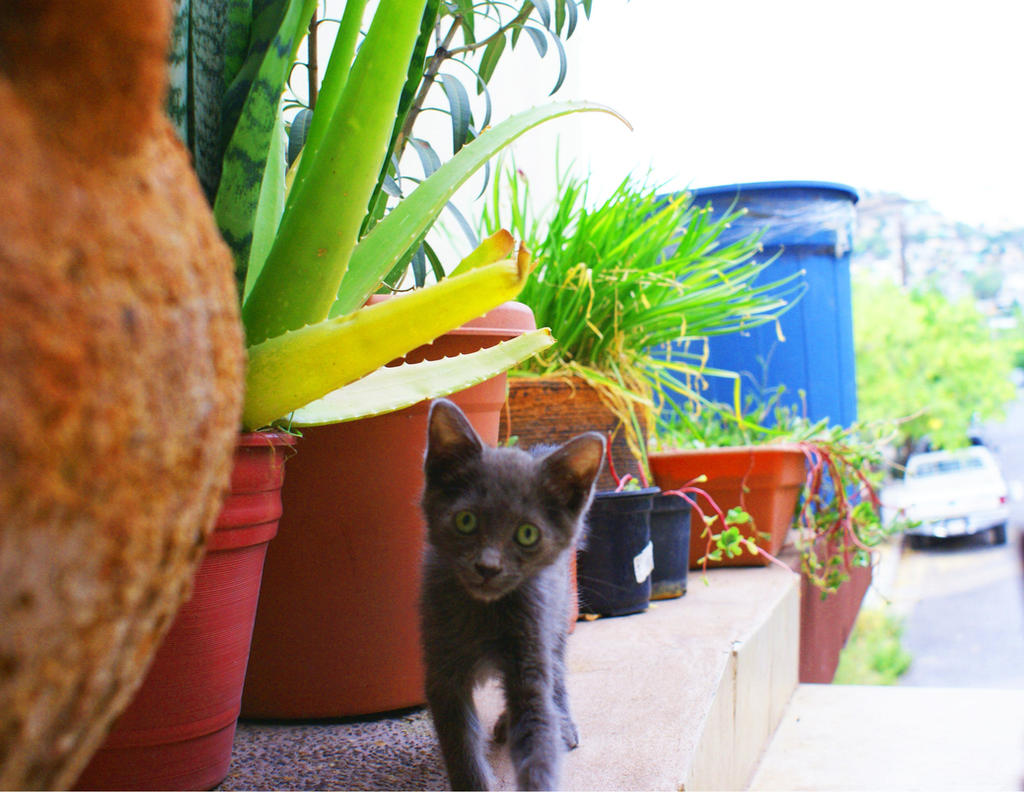 gray little cat by daniantart