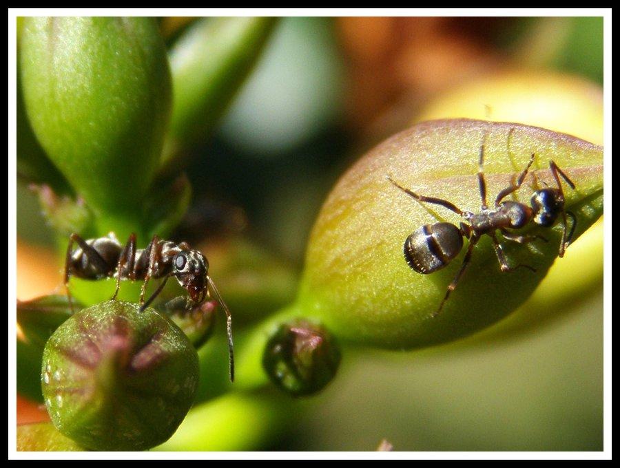 Ants by AnimalPlanetClub