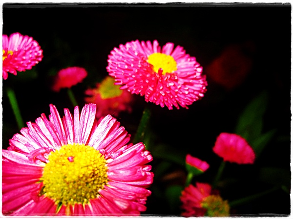 pink flower by Josi666