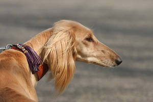 Saluki profile by BlastOButter