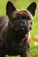 French Bulldog by BlastOButter