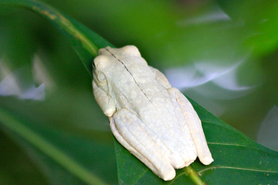 Pure White Frog Hiding on Leaf by Sp3nc3r-H1nds on DeviantArt